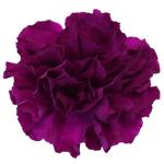 Monsenor Purpleberry Carnation Flower Bloom