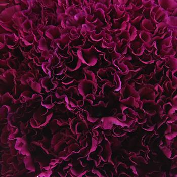 Monsenor Purpleberry Wholesale Carnations Up close