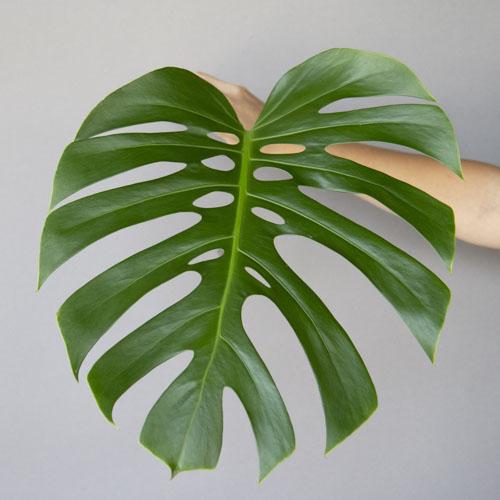Monstera Leaves Tropical Greenery Medium