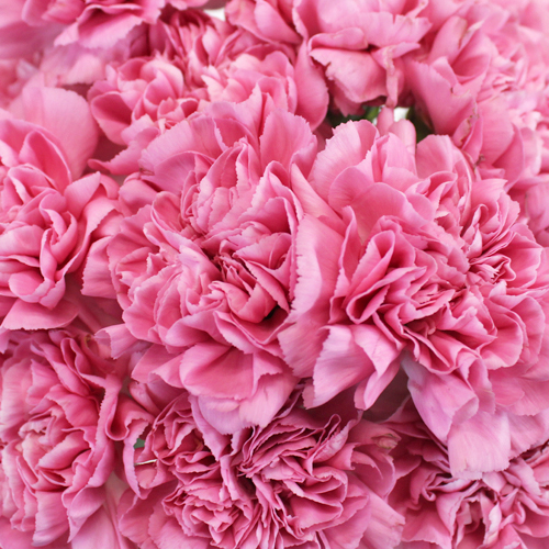 Watermelon Pink Carnation Flower