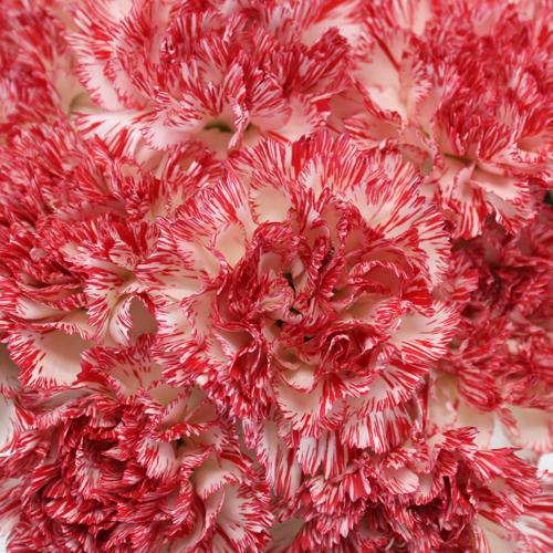 Peppermint Carnation Flowers
