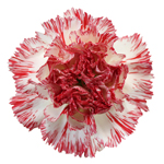 Montoya Red and White Carnation Flower Bloom