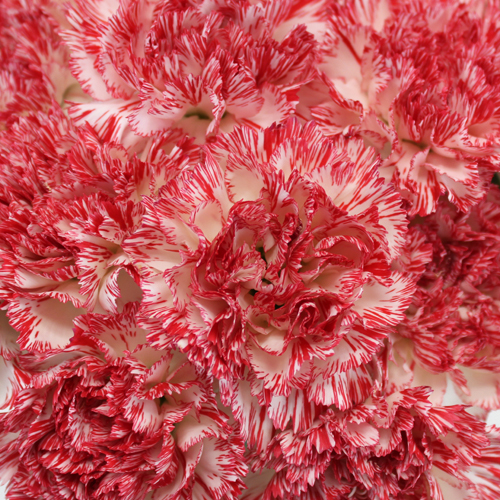 Montoya Red and White Wholesale Carnations Up close