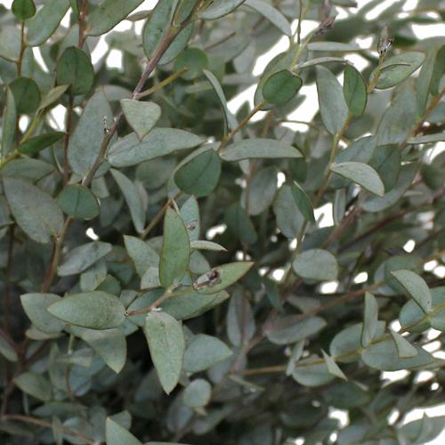 Moon Lagoon Fresh Cut Eucalyptus Greenery