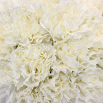White Bulk Carnation flowers