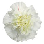Moonlight White Carnation Flowers Bloom