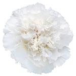 Moonlight White Carnation Flower FlatLay