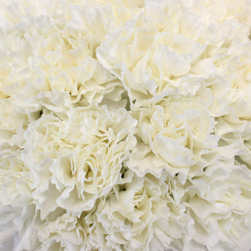 Moonlight White Carnation Flowers Close up