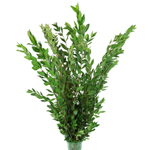 Foxtail - Buy Bulk FREE SHIPPING!