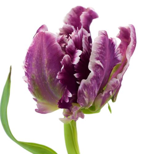 Mysterious Plum Parrot Tulip Wholesale Flower Up close