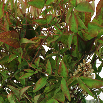 Wedding greenery nandina fall fresh cut branches with berries sold near me
