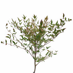 Single stem of nandina fall fresh cut branches with berries filler flowers sold for delivery