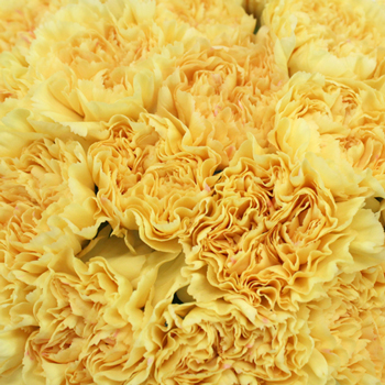 Natalia Dark Yellow Wholesale Carnations Up close