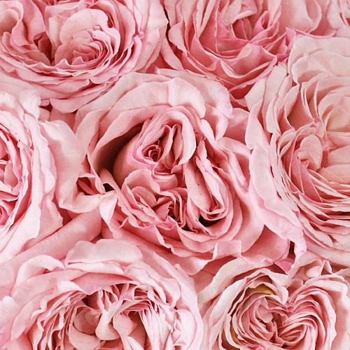 Naturally Pink Garden Roses up close