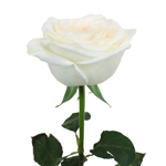 Naturally White Garden Rose Side Stem View