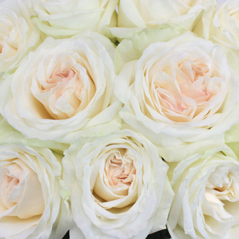 Naturally White Garden Roses up close