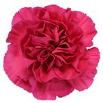 Negresco Dark Pink Carnation Flower Bloom