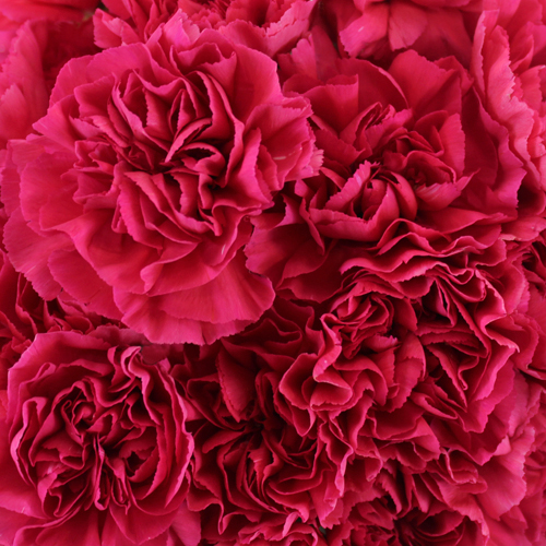 Negresco Dark Pink Wholesale Carnations Up close