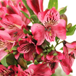Cupido Pink Alstroemeria Wholesale Flower Up close