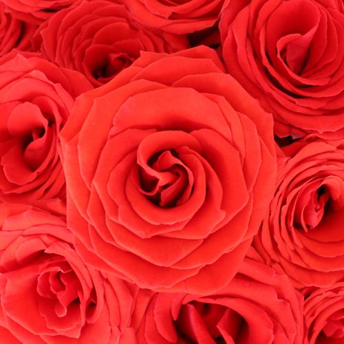 Ninas Love Red Rose