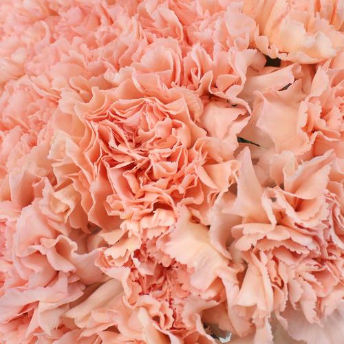 Novia Peach Wholesale Carnations Up close