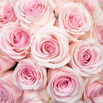 Rosy Glow Pink Rose