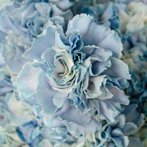 Nymp Blue and White Carnation Flowers Up Close