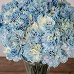 Nymp Blue and White in a vase Close Up