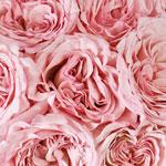 Ohara Soft Pink Garden Roses up close