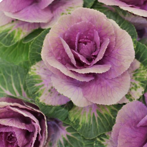 Ombre Purple Kale
