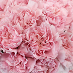 Carnation Flower Light Pink