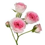 Ophilia Pink Garden Rose Stem