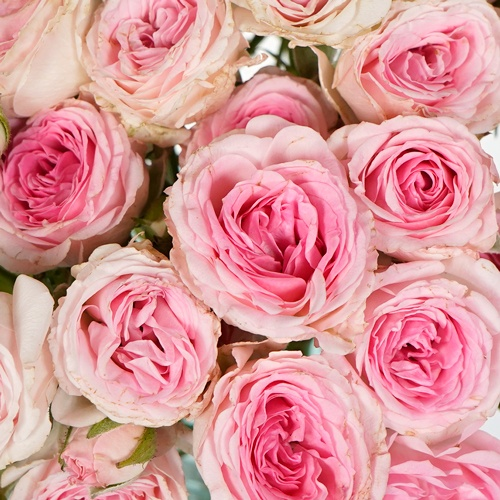 Ophilia Pink Garden Roses up close