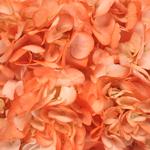 Orange Airbrushed Hydrangea Flower Up Close