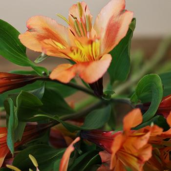 Orange Alstroemeria Fresh Flower