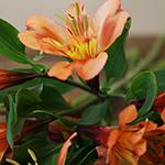 Orange alstroemeria Wholesale Flower Upclose