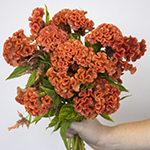 Celosia Orange and Dark Pink Flower