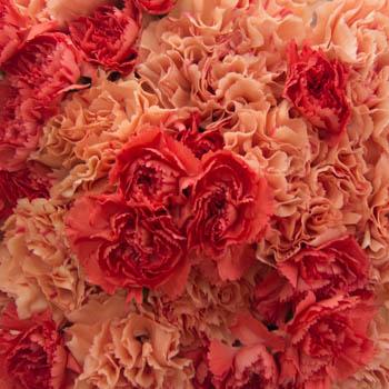 Orange Craze Wholesale Carnations Up close