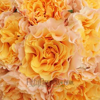 Orange Cream Ruffles Garden Roses up close