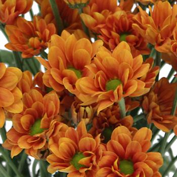 Tangerine Mini Daisy Flower