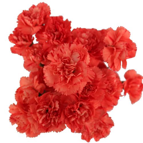 Orange Mini Carnation Flowers Up Close