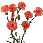 Orange Mini Carnation Flowers Stem View