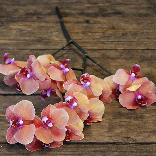 Phalaenopsis Pale Orange Orchid Flowers