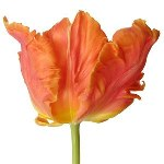 Orange Parrot Novelty Tulips Flower Up Close