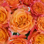 Orange Sherbet Garden Roses up close
