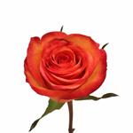 Orange Sunset Fidji Rose Stem