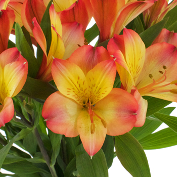 Orange Yellow alstroemeria Wholesale Flower Upclose