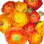 Orange Ranunculus Fresh Cut Flower