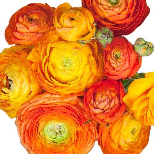 Orange Ranunculus Fresh Cut Flower