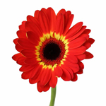Gerbera Daisy Oxford Red and Yellow Wholesale Flower Up close